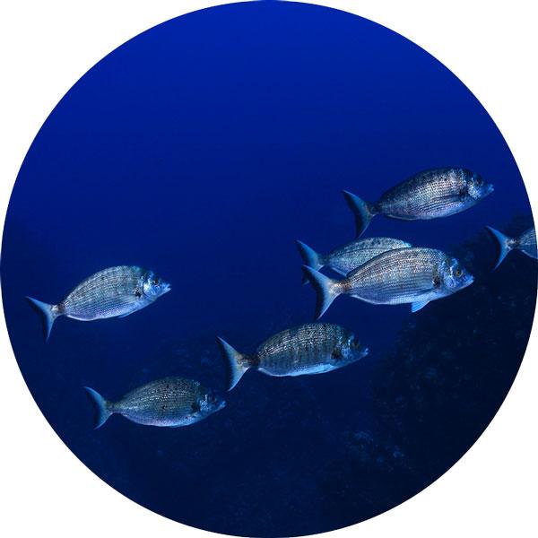 poissons benthiques marins